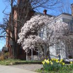 2012 Photo Gallery - Magnolia tree on Kinderhook Street in Chatham, NY