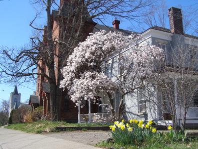 2012 Photo Gallery - Magnolia tree on Kinderhook Street in Chatham, NY